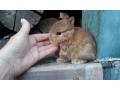 extraordinary-netherland-dwarf-lionhead-mini-rex-baby-rabbits-small-2