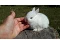extraordinary-netherland-dwarf-lionhead-mini-rex-baby-rabbits-small-1