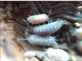 isopods-and-springtails-small-0