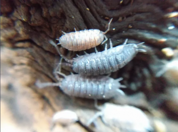 isopods-and-springtails-big-0