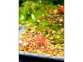 crystal-red-shrimps-small-0