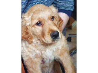 Adorable Golden Retriever Male Puppy