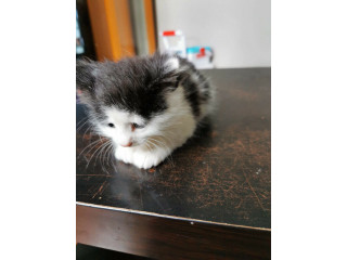 Very cute, black and white kitten with very fluffy fur!