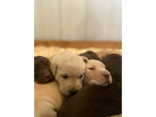 Purebred Lab puppies for sale!
