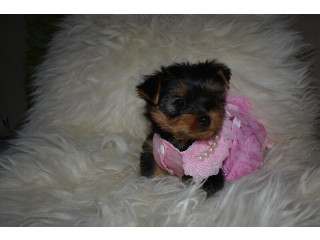 Yorkshire Terrier (yorkie) Tea Cup size Pure bred puppies