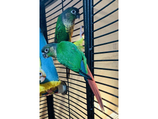 Lovely Conures for SALEEEE