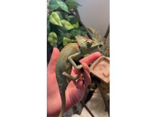 7 month old female Chameleon + Terriaum/decor