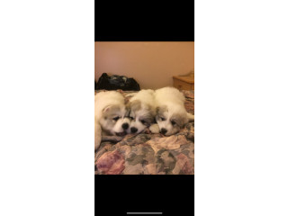 PYREDOODLE PUPPIES FOR SALE READY TO GO TO A GOOD HOME NOW