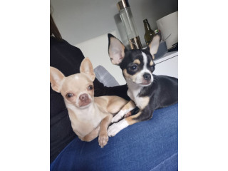 Maltese and chihuahua dogs