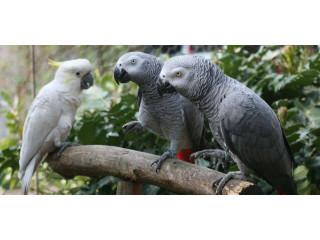 4 African grey parrots