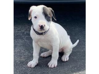 American Bulldog Puppy !!!