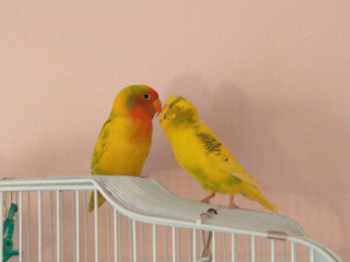 Lovebird and budgie pair for sale