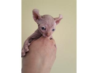 Sphynx Elf Kittens