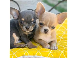 Home raised chihuahua puppies