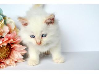 Beautiful Registered Ragdoll Kittens