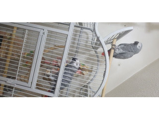 A Pair of adorable  African Grey Parrots