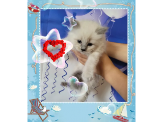 Purebred Ragdoll kittens ready for new home